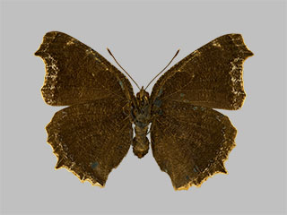 /PicturesNA/Photos/Butterflies/Daniels/ID0302_2014_01_30_antiopa_daubii_back_medium.jpg