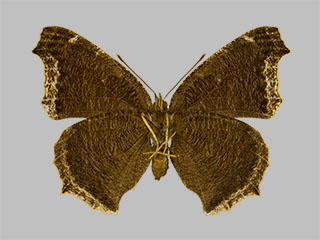 /PicturesNA/Photos/Butterflies/Daniels/ID0303_2014_01_30_antiopa_daubii_back_medium.jpg