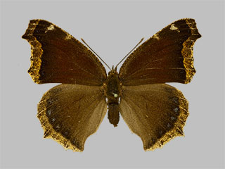 /PicturesNA/Photos/Butterflies/Daniels/ID0303_2014_01_30_antiopa_daubii_front_medium.jpg