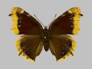 /PicturesNA/Photos/Butterflies/Daniels/ID0304_2014_01_30_antiopa_front_medium.jpg