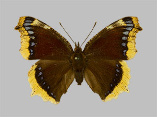 /PicturesNA/Photos/Butterflies/Daniels/ID0306_2014_01_30_antiopa_front_medium.jpg