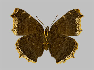 /PicturesNA/Photos/Butterflies/Daniels/ID0307_2014_01_30_antiopa_back_medium.jpg