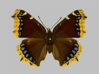/PicturesNA/Photos/Butterflies/Daniels/ID0307_2014_01_30_antiopa_front_medium.jpg