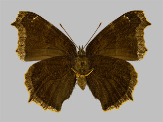 /PicturesNA/Photos/Butterflies/Daniels/ID0308_2014_01_30_antiopa_back_medium.jpg