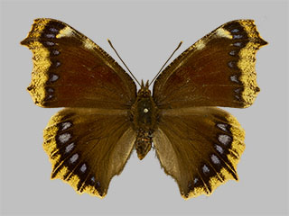 /PicturesNA/Photos/Butterflies/Daniels/ID0308_2014_01_30_antiopa_front_medium.jpg