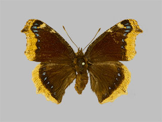 /PicturesNA/Photos/Butterflies/Daniels/ID0309_2014_01_30_antiopa_front_medium.jpg