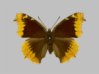 /PicturesNA/Photos/Butterflies/Daniels/ID0310_2014_01_30_antiopa_hygiaea_front_medium.jpg