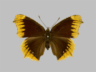 /PicturesNA/Photos/Butterflies/Daniels/ID0311_2014_01_30_antiopa_hygiaea_front_medium.jpg