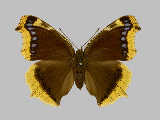 /PicturesNA/Photos/Butterflies/Daniels/ID0314_2014_01_30_antiopa_front_medium.jpg