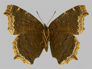 /PicturesNA/Photos/Butterflies/Daniels/ID0315_2014_01_30_antiopa_lintnerii_back_medium.jpg