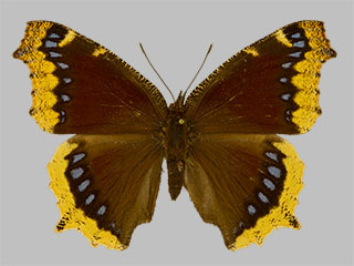 /PicturesNA/Photos/Butterflies/Daniels/ID0315_2014_01_30_antiopa_lintnerii_front_medium.jpg