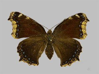 /PicturesNA/Photos/Butterflies/Daniels/ID0316_2014_01_30_antiopa_daubii_front_medium.jpg
