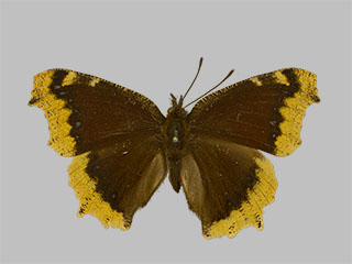 /PicturesNA/Photos/Butterflies/Daniels/ID0317_2014_01_30_antiopa_front_medium.jpg