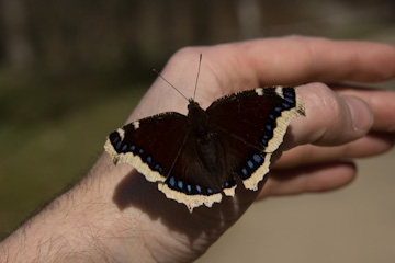/PicturesNA/Photos/Butterflies/Daniels/Nymphalis_antiopa_Berlin_Hand_001_2012_03_22_medium.jpg