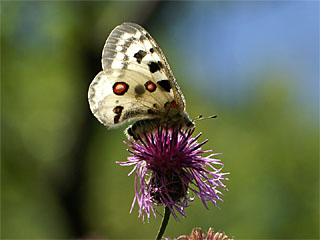 /PicturesNA/Photos/Butterflies/Daniels/Parnassius_apollo_2_NSG_Dortebachtal_2006_07_02.jpg