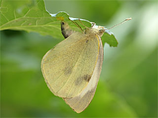 /PicturesNA/Photos/Butterflies/Daniels/Pieris_brassicae_Kessenich_2006_07_23.jpg