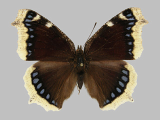 /PicturesNA/Photos/Butterflies/Kondla/antiopa_kondla_buzek_1986_06_30_medium.jpg