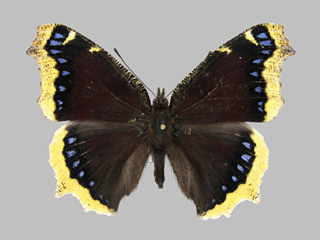 /PicturesNA/Photos/Butterflies/Kondla/antiopa_kondla_large_2006_08_21_medium.jpg