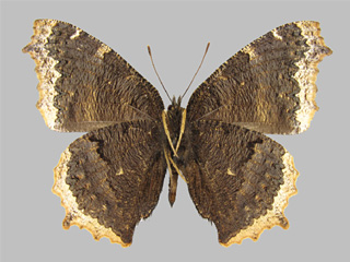 /PicturesNA/Photos/Butterflies/Kondla/antiopa_kondla_lintnerii_underside_Leski_2002_09_20_medium.jpg