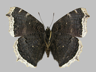 /PicturesNA/Photos/Butterflies/Kondla/antiopa_underside_kondla_2007_08_03_medium.jpg