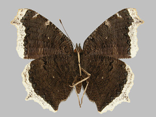 /PicturesNA/Photos/Butterflies/Kondla/antiopa_underside_kondla_buzek_1986_06_30_medium.jpg