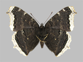 /PicturesNA/Photos/Butterflies/Kondla/antiopa_underside_kondla_savela_2002_07_21_medium.jpg