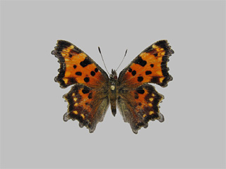 /PicturesNA/Photos/Butterflies/Kondla/polygonia_faunus_kondla_leski_2009_08_11_medium.jpg