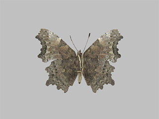 /PicturesNA/Photos/Butterflies/Kondla/polygonia_faunus_underside_kondla_leski_2009_08_11_medium.jpg