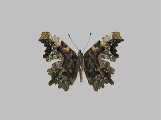 /PicturesNA/Photos/Butterflies/Kondla/polygonia_faunus_underside_kondla_leski_2009_08_15_medium.jpg