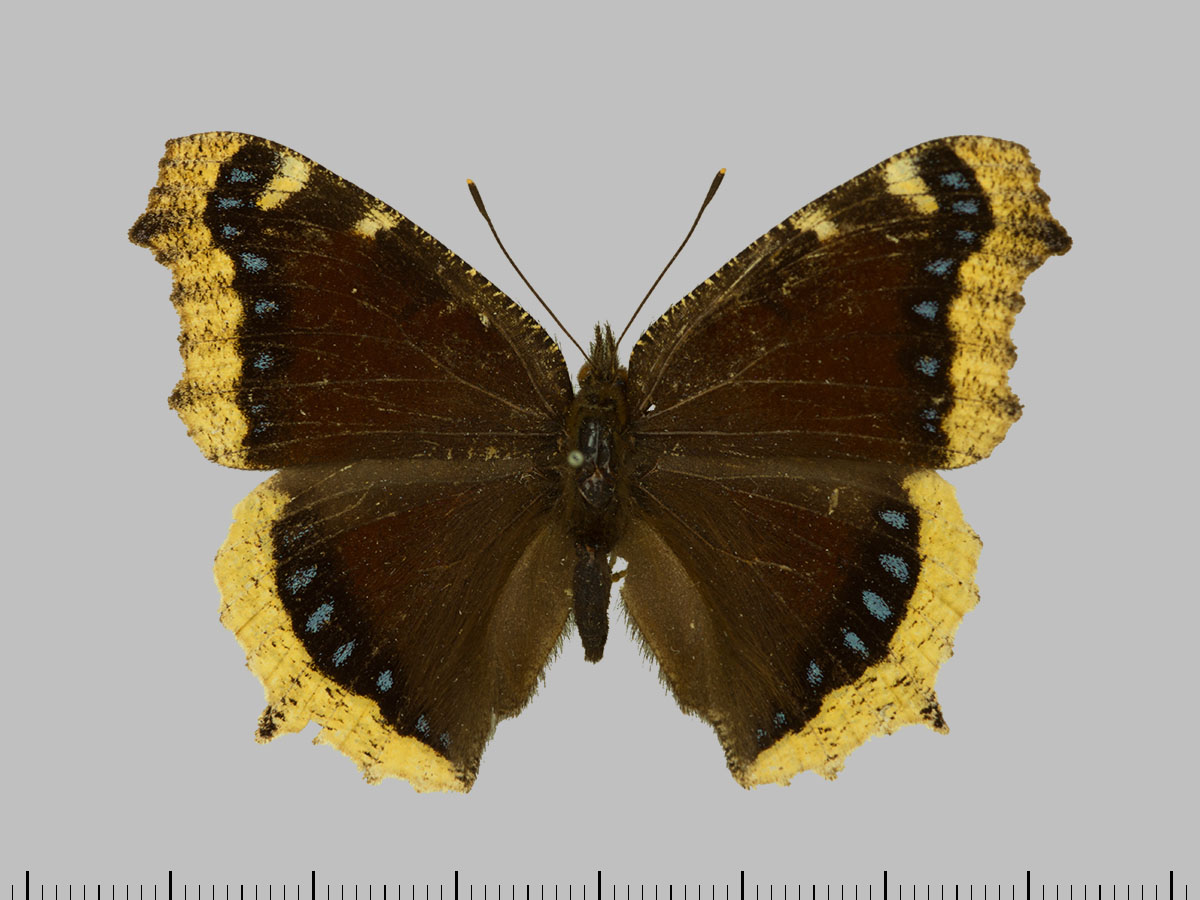 /PicturesNA/Photos/Butterflies/Daniels/ID0203_2013_10_22_antiopa_yedaluna_front_large.jpg