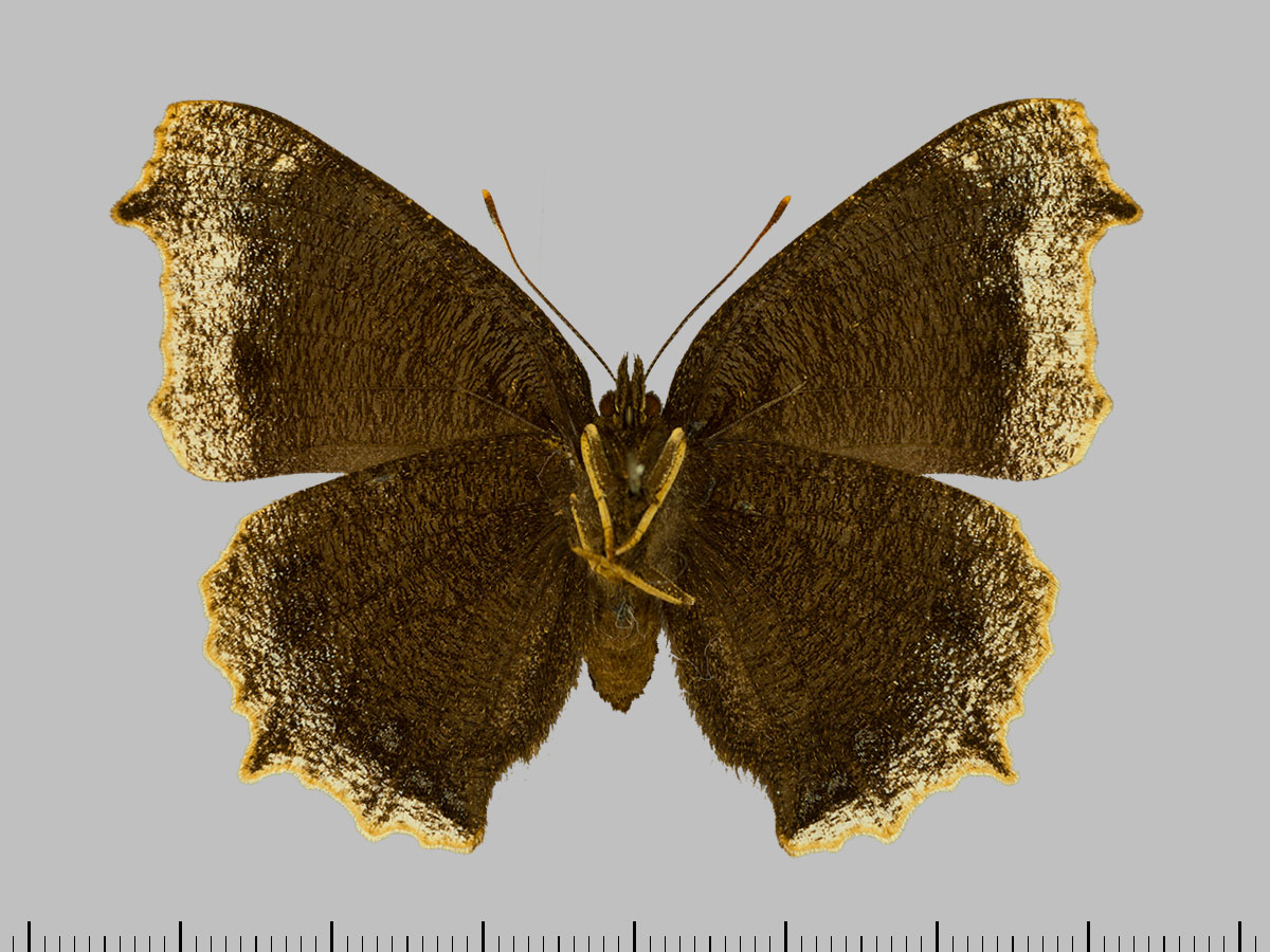 /PicturesNA/Photos/Butterflies/Daniels/ID0304_2014_01_30_antiopa_back_large.jpg