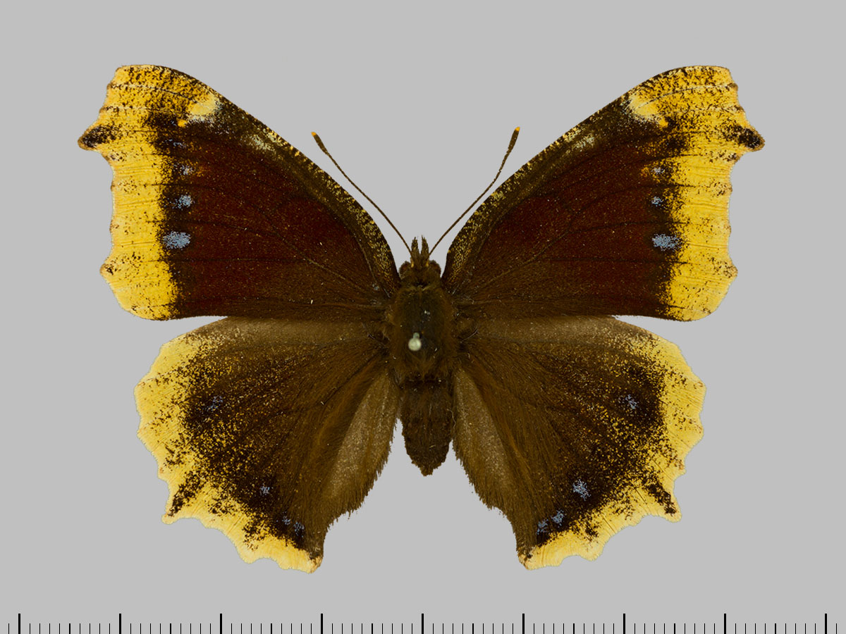 /PicturesNA/Photos/Butterflies/Daniels/ID0304_2014_01_30_antiopa_front_large.jpg